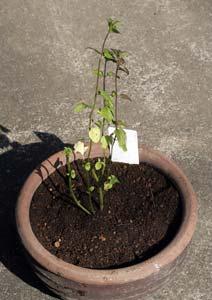 オーデコロンミントの新苗の植え付け