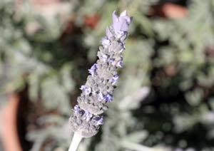 フリンジラベンダーの花