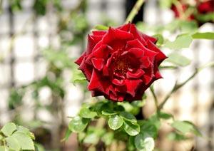 黒真珠のバラの花
