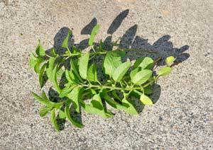 ラベンダーミントの葉の収穫