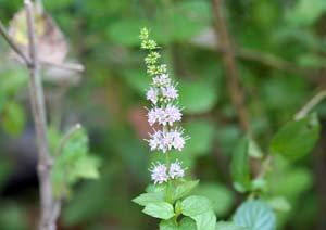 ラベンダーミントの花