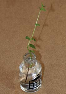 ラベンダーミントの挿し穂