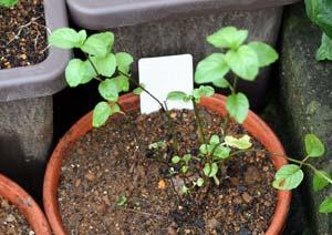 ラベンダーミントの苗の植え付け