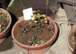 冬越し中のラベンダーミントの鉢
