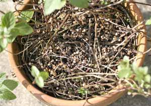 ペパーミントの鉢植えに固形肥料を与える