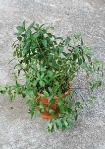 ペパーミントの鉢植え