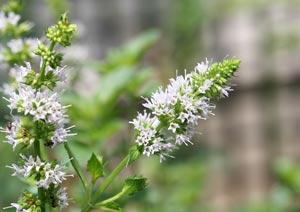 ペパーミントの花