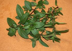 ペパーミントの葉の収穫