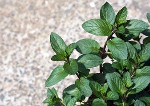 ペパーミントの葉