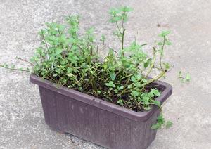 植え付けから数年が経過したペパーミントのプランター