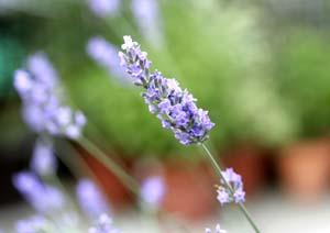 スイートラベンダーの花