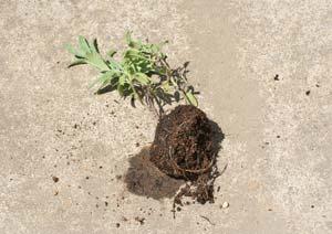 挿し木したコモンセージの苗を引き抜く