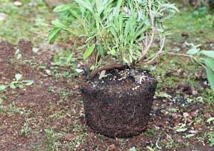 コモンセージの根鉢