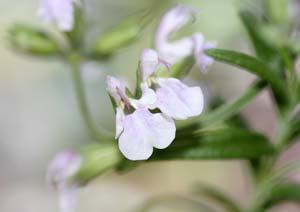 コモンセージの花