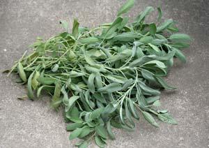 コモンセージの葉の収穫