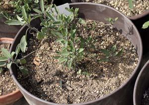 冬越し中のコモンセージの鉢植え