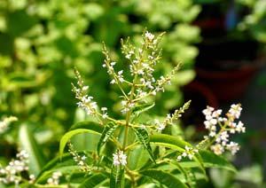 レモンバーベナの花