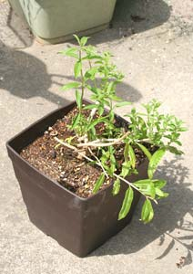 レモンバーベナの枝の剪定後