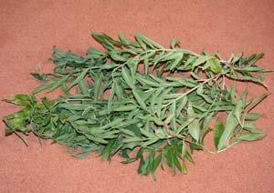 レモンバーベナの葉の収穫
