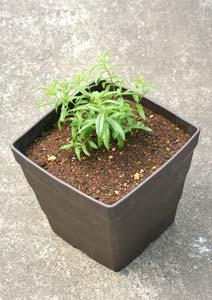 レモンバーベナの苗の植え付け