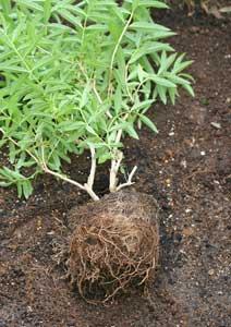 レモンバーベナの根鉢をほぐす