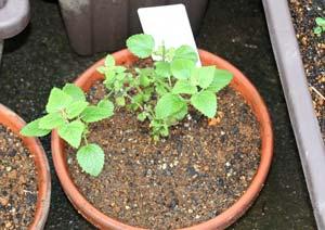 レモンバームの苗の植え付け