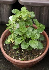 冬越し後のレモンバームの鉢植え