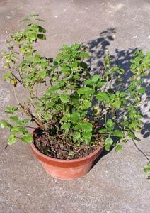 根詰まりしたレモンバームの鉢植え