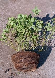 レモンバームの根鉢