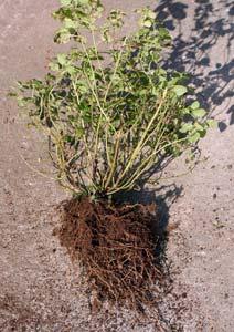 レモンバームの根鉢をほぐす