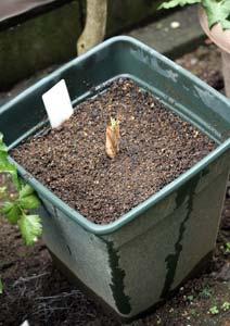 レモングラスの苗の植え付け