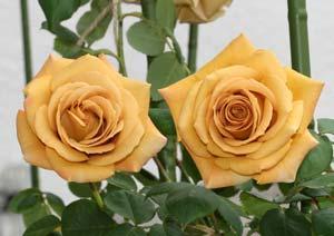 バタースコッチ バラの花の写真