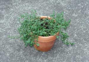 取り木前のタイムの鉢植え