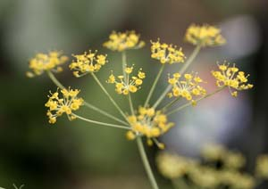 スイートフェンネルの花