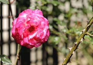 聖火のバラの花