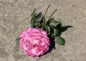 聖火のバラの花の切り戻し