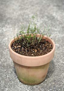 コモンタイムの苗の植え付け