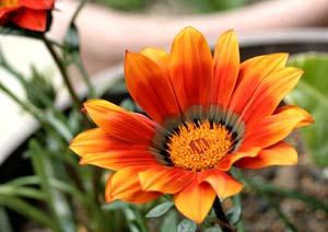 ガザニアの花のマクロ撮影