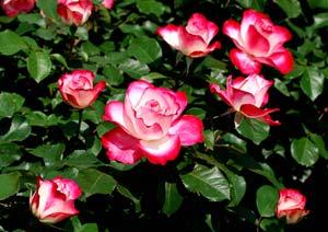 ローズガーデンにてバラを撮影