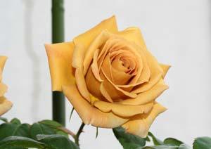 バタースコッチ バラの花