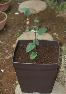 ブラックベリーの苗の植え付け