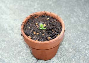 ドラゴンフルーツの苗の植え付け