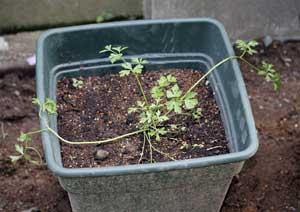 イタリアンパセリの苗の植え付け