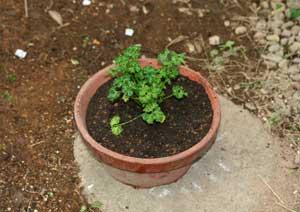 パセリの苗の植え付け