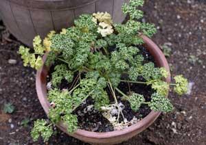 冬越し中のパセリの鉢植え