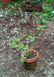植え替え前の3号鉢のノイバラ