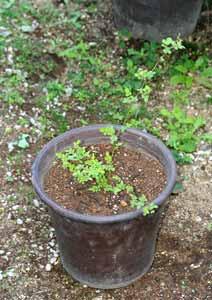 植え替え後のノイバラの鉢植え