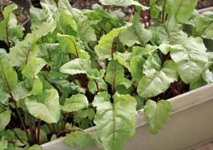 ビーツの苗の植え付けから約一月半後