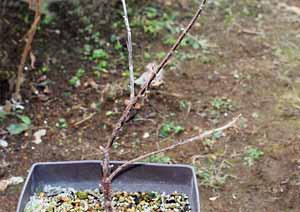 冬越し中のレッドカラントの鉢植え