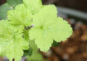 ブラックカラントの葉